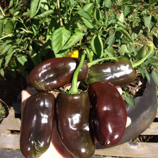 Chocolate bell peppers