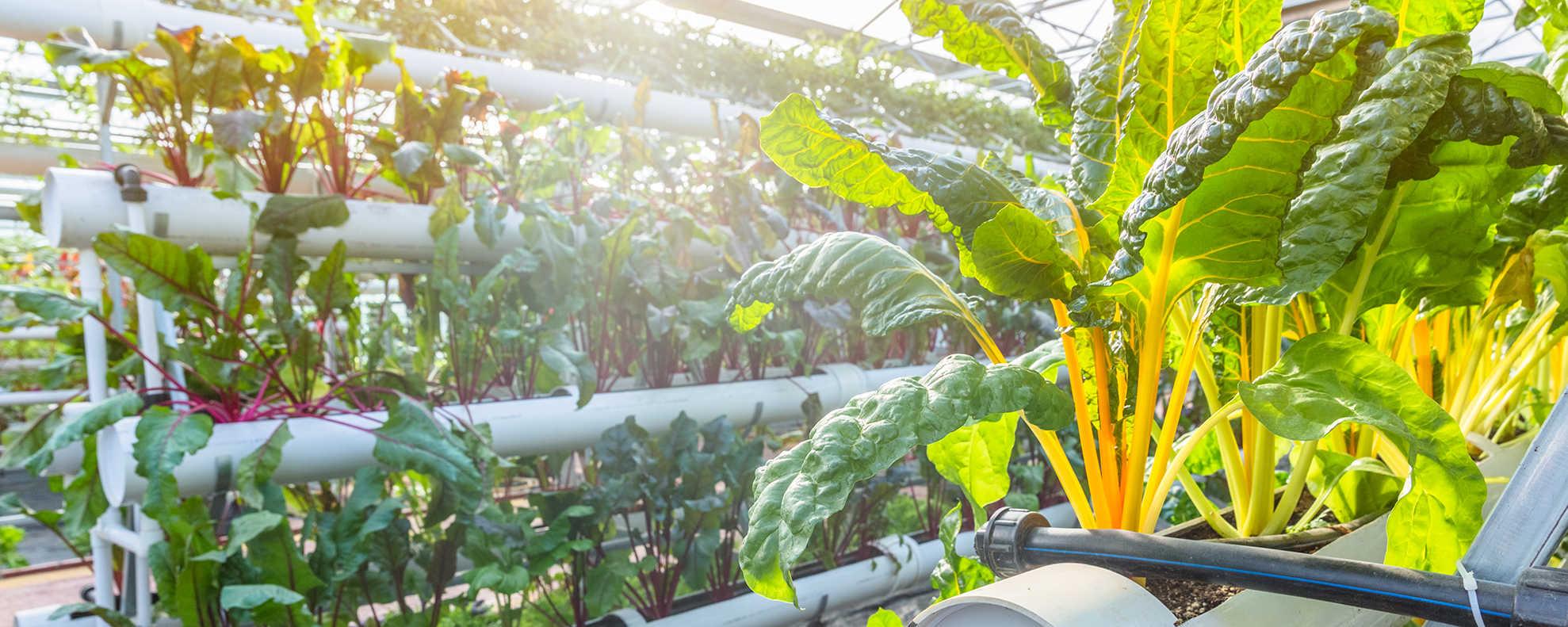Organic Swiss chard grown vertically